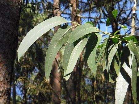 eucalyptus-2711285_640.jpg