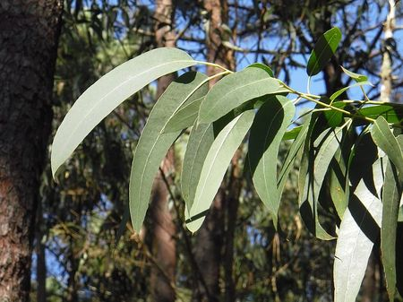 eucalyptus-2711285_640.UDiG70.jpg