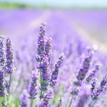 lavender-blossom-1595581_1920.2gZB52.jpg